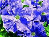 Petunie grandiflora Ultra Sky Blue - Hängepetunie - Petunia - 10 Pillensaat-Samen