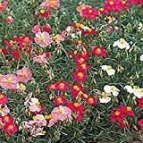 PLAT FIRM GERMINATIONSAMEN: B) 10000 Seeds: Outsidepride Rock Rose Bodendecker Seed