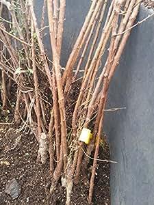 Albicocca Colomer Pianta a radice nuda Varietà Albicocca Colomer - 1 Pianta