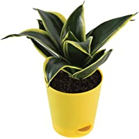 Ugaoo Sansevieria Golden Hahnii Snake Plant with Self Watering Pot