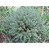 100 graines Aromatiques - THYM DE PROVENCE - Thymus Vulgarus