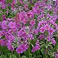 Etagen-Primel, Primula beesiana von VDG-Stauden auf Du und dein Garten