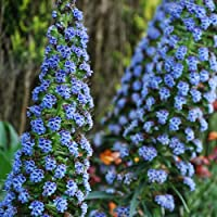 Plant World Seeds - Iochroma (brugmansia) Australe 'Blue
