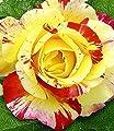 BALDUR-Garten Delbard Malerrosen 'Camille Pissaro', 1 Pflanze Edelrose von Baldur-Garten bei Du und dein Garten