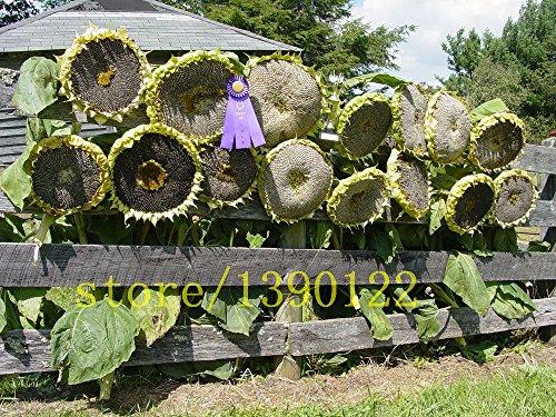 20Stück RIESEN-Sonnenblumen Samen Giant Big Blume Samen schwarz Sonnenblumen Russische Sonnenblumenkerne für Home Garten -