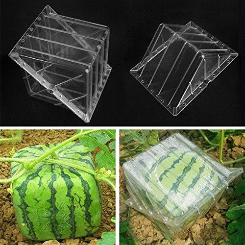 bluelover-calabaza-de-sandia-en-forma-cuadrada-que-forma-el-crecimiento-de-la-fruta-del-jardin-de-mo