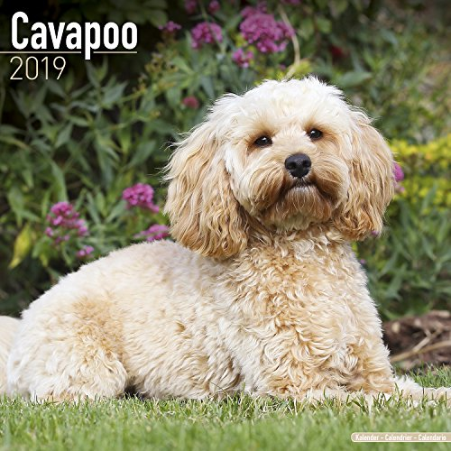 Cavapoo Calendar 2019
