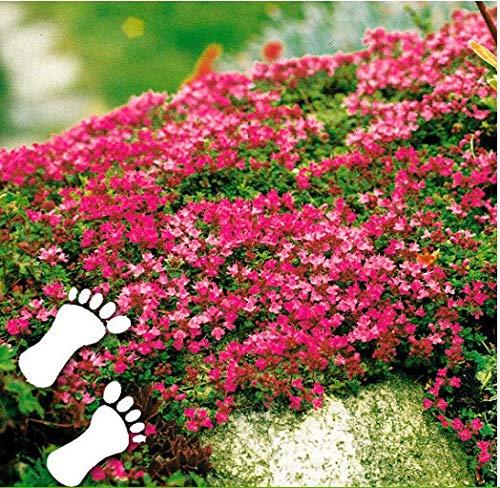 Beautytalk-Garten 100 Polsterthymian Blütenteppich mehrjährig Rock Kresse Samen Teppich-Thymian winterhart Immergrüne Blumensamen bienenfreundliche Kletterpflanzen Steingärten