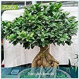 zlking 100Stück chinesische mini Banyan Tree Bonsai Samen Frische Natur Hohe Keimrate Ficus Feige Pflanze getopft Samen