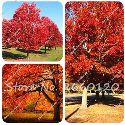 Pinkdose 5 pièces/sac chêne rouge Bonsaï bonne paysage Rillettes arbre Quercus Alba ombre Acorn usine pour le bricolage jardin à domicile Livraison gratuite