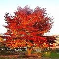 Amberbaum - 1 strauch von Meingartenshop auf Du und dein Garten