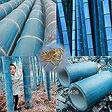 40 PC / bolso Semillas raras azules de bambú, jardín decorativo, semillas del árbol de hierba plantador de bambu para el jardín de DIY envía el regalo