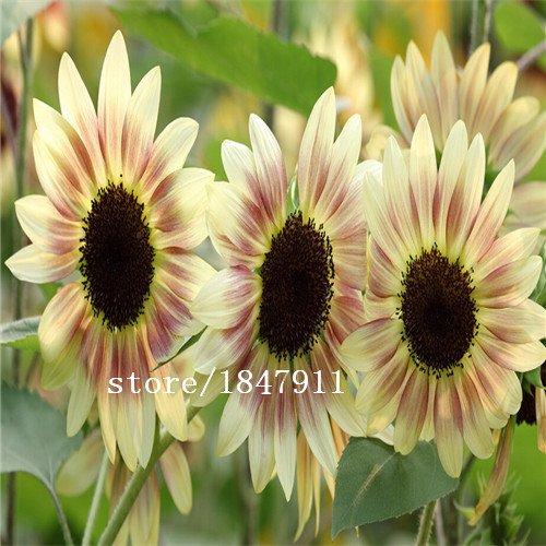 Großer Verkauf Original-Pack 100 Samen / Pack, Rote Sonne Pflanzensamen, Sonnenblumenkerne, Zinfandel Sonnenblumen, Portulakröschen, Sunflowe (Original Sonnenblumenkerne)
