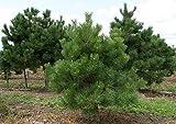 Schwarzkiefer Kiefer 80-100cm Pinus nigra Baum Pflanze GARTEN