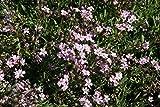 Gypsophila repens 'Filou Rose' - 3 Pflanzen im 0,5 lt. Vierecktopf