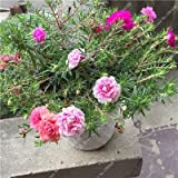 Portulaca de la semilla colorido, Moss-rosa semilla de flor doble verdolaga caliente tolerante, fácil crecer las semillas de flor al aire libre 100 PC / lote 1