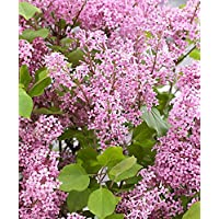 Dwarf Korean Lilac - Syringa Shrub - Pack of Two in Bud and Bloom