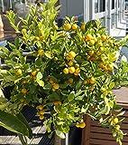 Citrus sinensis - Orangenbaum - verschiedene Größen (150-170cm - Topf Ø 35cm)