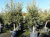 Olea europaea, Olive 20 Jahre 180 cm, Olivenbaum