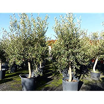 uriger alter olivenbaum knorrige olive 80 100 jahre winterhart garten. Black Bedroom Furniture Sets. Home Design Ideas