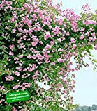 BALDUR-Garten Rambler-Rosen 'Paul's Himalayan Musk Rambler'