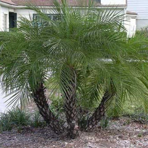 Palmier graines achat vente de palmier pas cher for Plante palmier exterieur