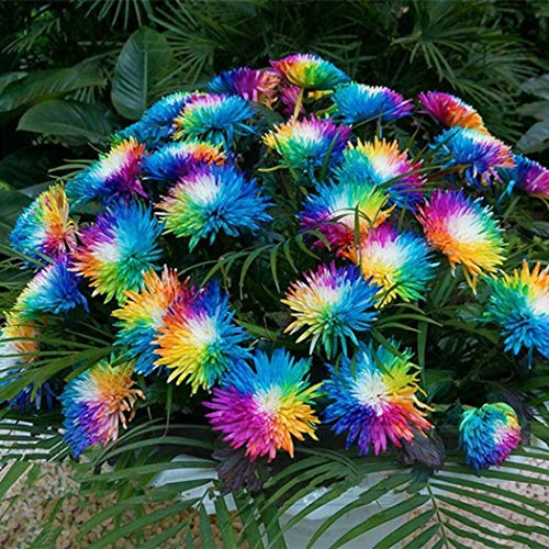 AIMADO Samen-100 Pcs Chrysanthemum Blumensamen Bunte Sommermargerite bienenfreundliche Frühling Blumen mehrjährig winterhart für Garten Balkon -