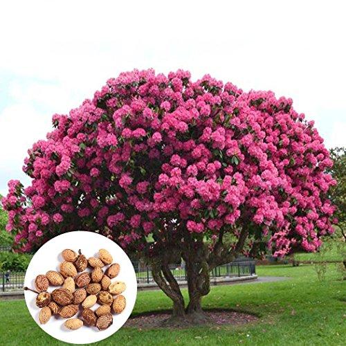 Swiftt 20/30/50 Stück Riesen japanische Rosa Kirschblüten Sakura Blumen Samen Kirschblüten Samen Baum Hausgarten