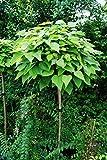 Kugelbaum Trompetenbaum, Catalpa bignonioides Nana Kugelbaum Stammhöhe 220 cm, Stammumfang 8-10 cm Kugeltrompetenbaum Hausbaum Gartenbaum
