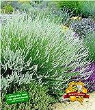 BALDUR-Garten Weißer Lavendel Duftlavendel echter Lavendel, 3 Pflanzen Lavandula