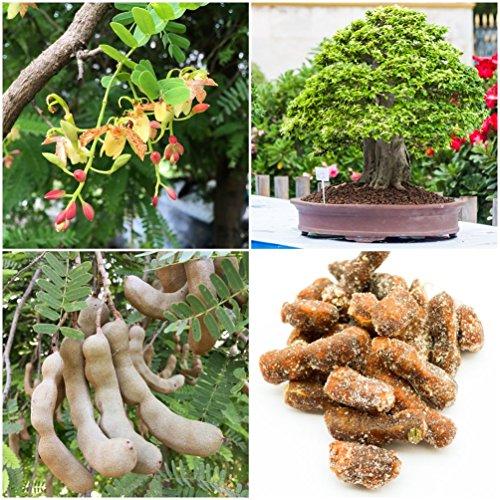 Tamarindus indica (Tamarindenbaum) -Samen - Bonsai geeignet (10)