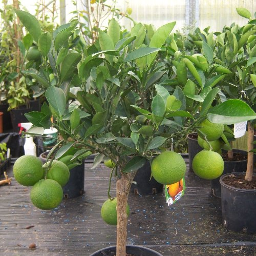 cross-common-nursery-citrus-orange-tree-half-standard