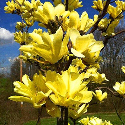 DaDago 10Pcs/Pack Magnolia Seeds Garden Light Durant Tree Seeds Zierpflanzen - 3 -
