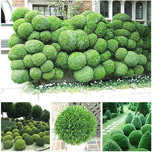 agrobits 50pcs palle di ginepro fiori in vaso purificano l'aria assorbono i gas nocivi, piante giardino di casa fai da te, molto facile da coltivare (sa jin bo): sa jin bo