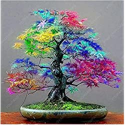 50 PC-Bonsai Ahorn-Samen Zier Bonsai-Baum-Samen Seltene japanische Ahornsamen Balkonpflanzen für DIY Hausgarten Rot
