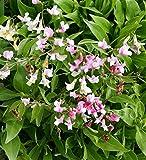 Foerster-Staude Staudenwicke Alboroseus im 3er-Set rosa blühend Beetstaude Hell-Schatten Lathyrus vernus im 0,5 Liter Topf 3 Pflanzen