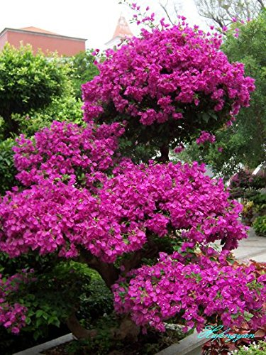 semi-di-kiwi-200-pc-thailandia-mini-kiwi-bonsai-piante-delicious-piccolo-alberi-da-frutto-di-semi-pe