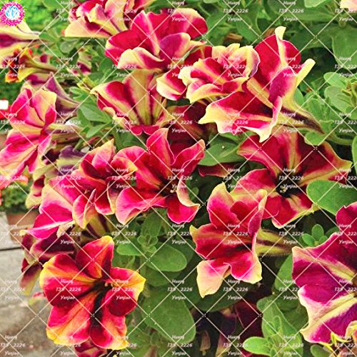 100pcs rares Couleur Petunia Graines Bonsaï Graines de fleurs vivaces Court Taille Jardin Fleurs Graines d'intérieur ou Ourdoor Pot 10 Plante