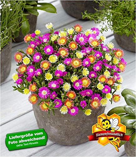 "BALDUR-Garten Winterharte Eisblumen\""Summer Mix\"", 3 Pflanzen Delosperma"