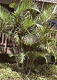 TROPICA - Goldblattpalme (Chrysalidocarpus lutescens syn. Areca lutescens) - 10 Samen