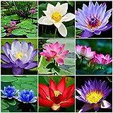 Qulista Samenhaus - 10pcs Selten Lotusblumen Indoor Kübel/Teich Wasserpflanzen Zierpflanze Blumensamen winterhart mehrjährig