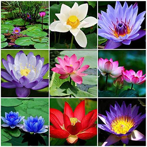 Qulista Samenhaus - 10pcs Selten Lotusblumen Indoor Kübel/Teich Wasserpflanzen Zierpflanze Blumensamen winterhart mehrjährig (Tropische Seerosen)