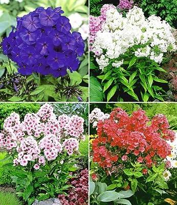 BALDUR-Garten Duft-Phlox-Kollektion, 6 Knollen Flammenblume winterharte Stauden Phlox panicula von Baldur-Garten auf Du und dein Garten