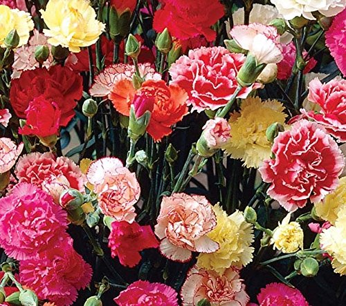 seekay-dianthus-giant-chabaud-mix-carnation-appx-300-seeds-perennial
