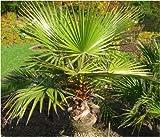 Seedeo Washingtonia - Fächerpalme (Washingtonia robusta) 12 Samen