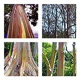 Regenbogenbaum - Eucalyptus deglupta - 100 Samen - Rarität !!!