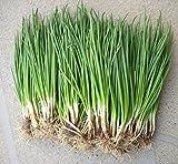 Shopmeeko 200 pz/Borsa Piccola Cipolla Verde Bonsai, cimelio Biologico Verdure Bonsai, heathy Cucina Cucina pentola pianta o Bonsai