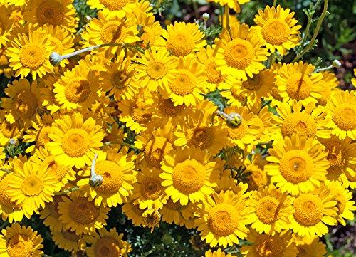 Färberkamille Anthemis tinctoria 300 Samen