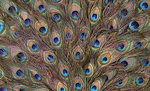 fotomurale-foto-wallpaper-carta-da-parati-foto-uccello-piuma-di-pavone-645-sfondo-blu-carta-368cm-br