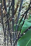 Asklepios-seeds - 100 Phyllostachys nigra Samen - Schwarzer Bambus, Schwarzrohrbambus, Riesenbambus